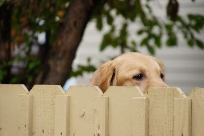 16246859 - golden retriever looking over a fence