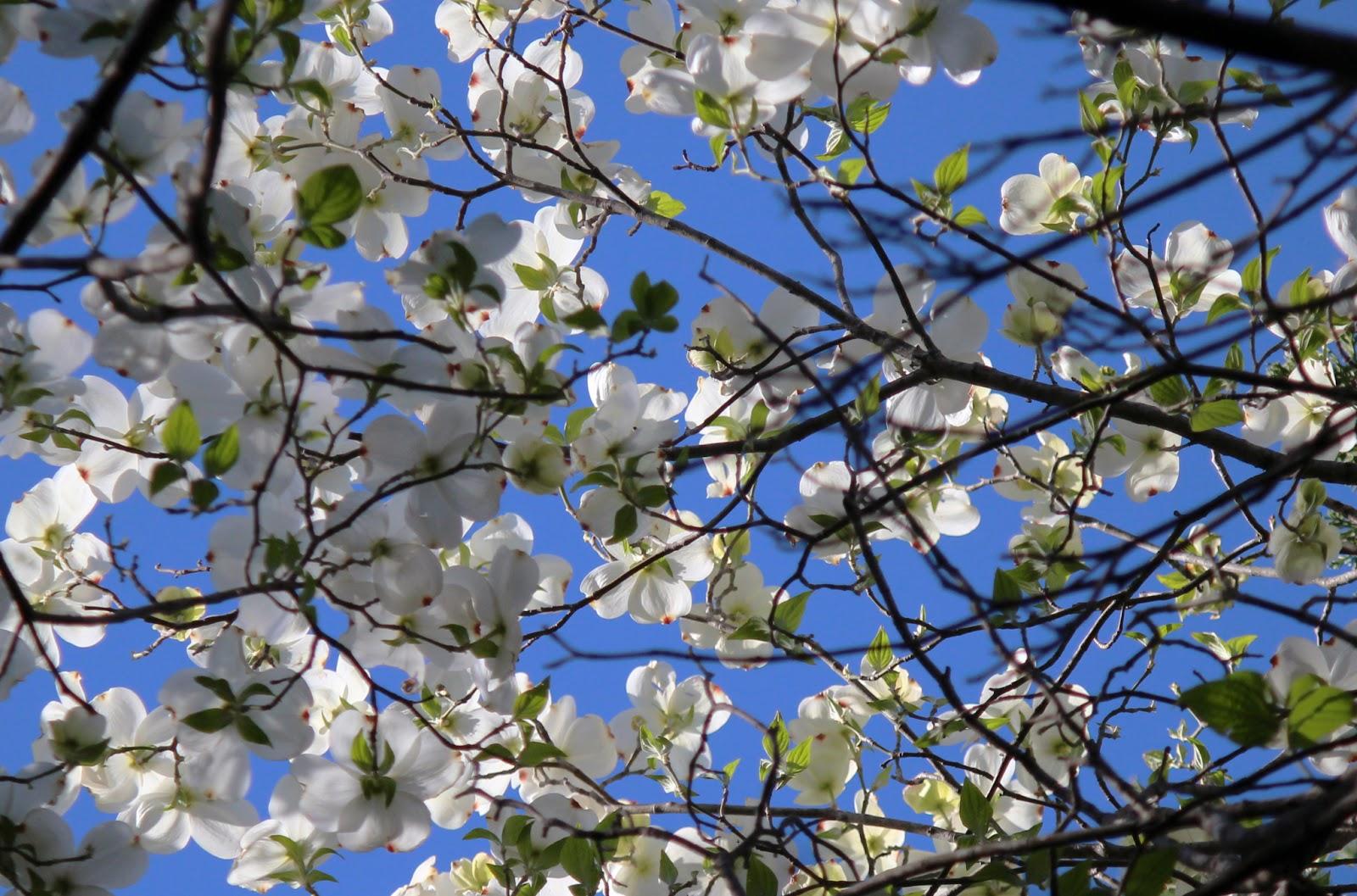 flowering dogwoods texas